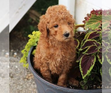Goldendoodle-Poodle (Standard) Mix PUPPY FOR SALE ADN-130732 - f1b standard