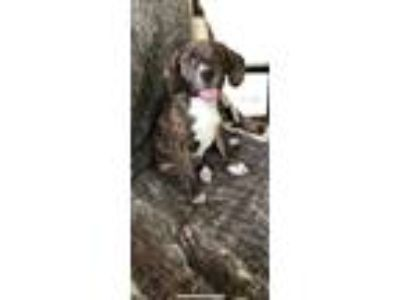 Adopt Mary a Brindle - with White Labrador Retriever / Hound (Unknown Type) /