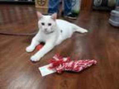 Adopt Frost a White Domestic Shorthair (short coat) cat in Lexington