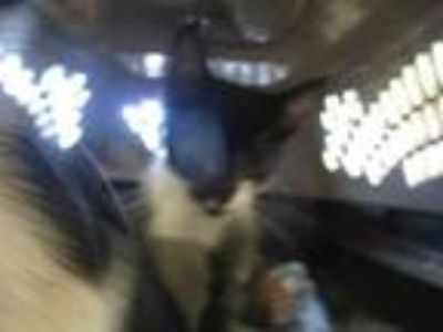 Craigslist - Cats for Sale or Adoption Classified Ads in ...