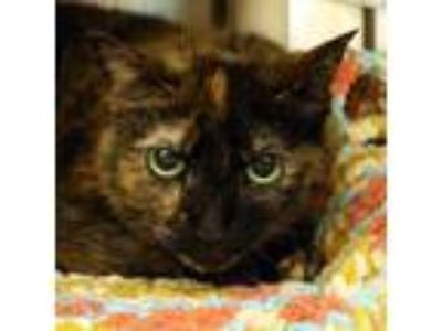 Adopt Reesey a Orange or Red Domestic Shorthair / Domestic Shorthair / Mixed cat