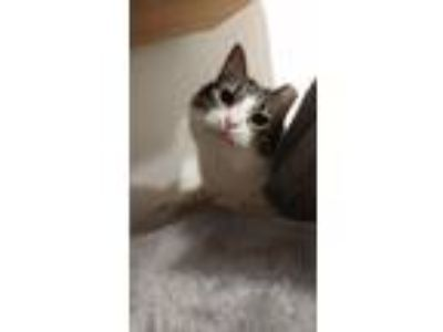 Adopt Catsby a Gray, Blue or Silver Tabby Domestic Longhair (medium coat) cat in