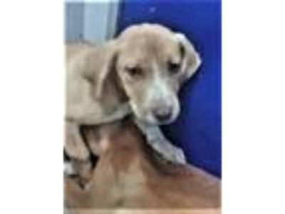 Adopt Amy - abandoned puppy needs foster / adopter a Labrador Retriever