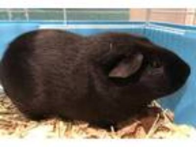 Adopt Dale a Black Guinea Pig / Guinea Pig / Mixed small animal in Vienna