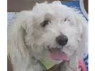 Adopt Taffy/r231488 a Poodle
