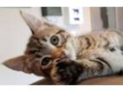 Adopt Kawai a Domestic Short Hair