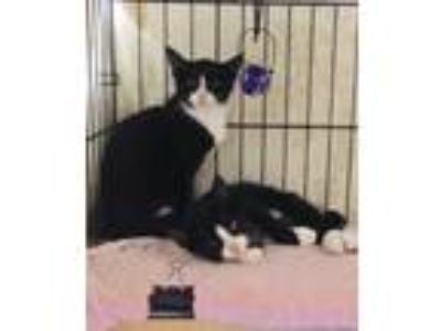 Adopt Checkers & Chess a Black & White or Tuxedo American Shorthair (short coat)