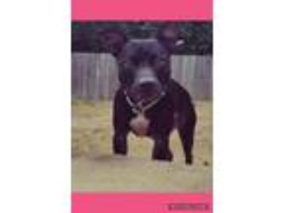 Adopt Sophie a Black - with White Pit Bull Terrier / Mixed dog in Memphis