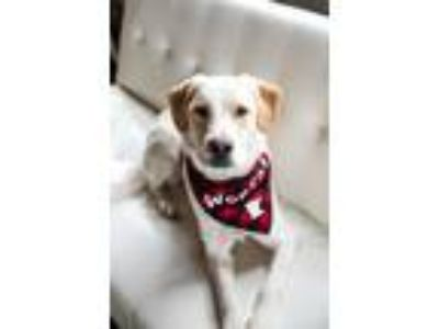 Adopt Calvin a Labrador Retriever, Pointer
