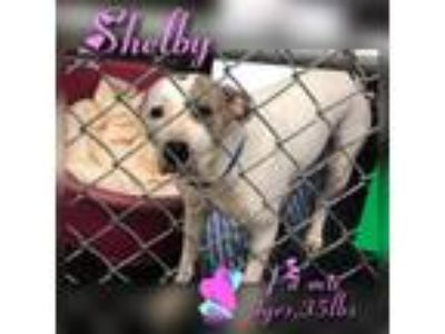 Adopt Shelby a Pit Bull Terrier