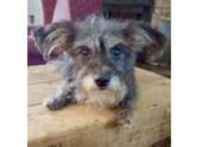 Adopt Blossom SDR in TX a Cairn Terrier