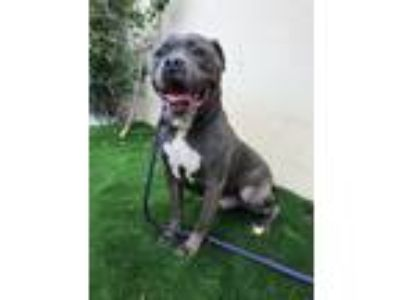 Adopt Gonzo a Gray/Silver/Salt & Pepper - with White Pit Bull Terrier / Mixed