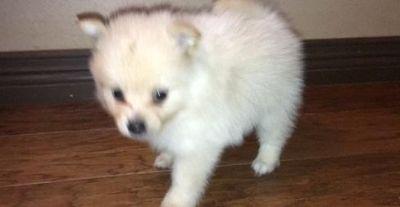 Stunning Small Pomeranian Puppies