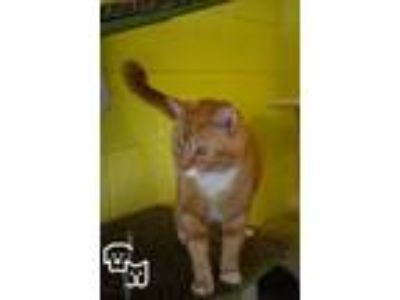 Adopt Toby a Domestic Short Hair, Tabby