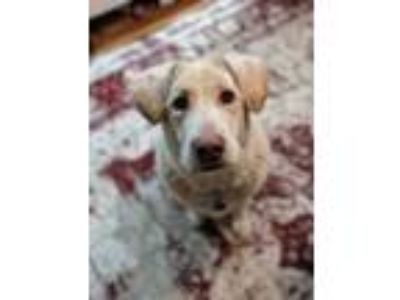 Adopt Duchess of Dakota a Labrador Retriever