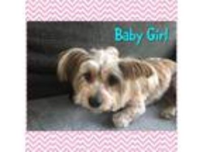 Adopt Baby Girl (Dallas) a Yorkshire Terrier