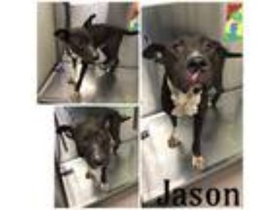 Adopt JASON a Black - with White American Pit Bull Terrier / Mixed dog in Macon