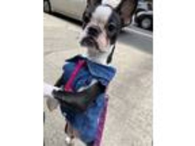 Adopt Chloe a Black - with White Boston Terrier dog in Brooklyn, NY (25253718)