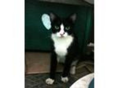 Adopt Holly a Black & White or Tuxedo American Shorthair / Mixed cat in