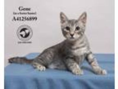 Adopt Gene (In a Foster Home) a Domestic Short Hair