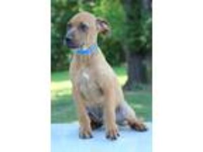 Adopt Jupiter a Tan/Yellow/Fawn - with White Labrador Retriever / Mixed dog in