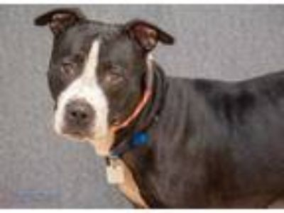 Adopt Zumba a Black American Pit Bull Terrier / Mixed dog in Hamilton