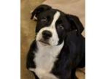 Adopt Gobi a Border Collie, Labrador Retriever