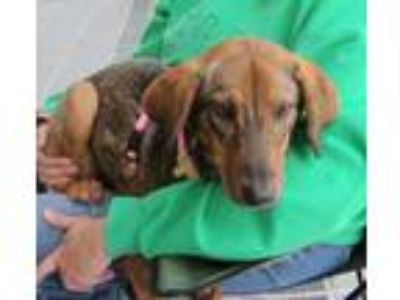 Adopt Sally a Brown/Chocolate - with Black German Shepherd Dog / Hound (Unknown