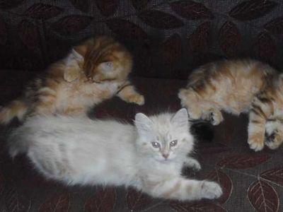 Siberian Kitten's