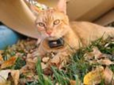 Adopt George a Tabby