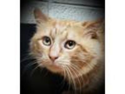 Adopt Footsie a Domestic Medium Hair