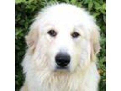 Adopt Chewy a Great Pyrenees