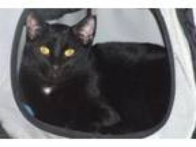 Adopt Andre a Domestic Short Hair