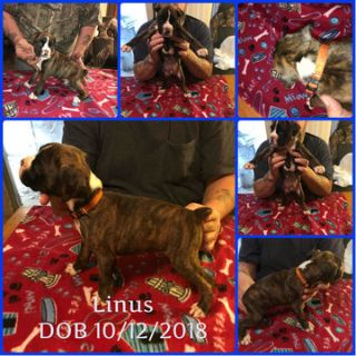 Boxer PUPPY FOR SALE ADN-105255 - AKC Brindle Male