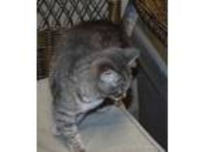 Adopt Madison a Gray or Blue Domestic Shorthair / Domestic Shorthair / Mixed cat