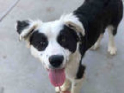 Adopt STEVE THE WONDER PANDA a Black - with White Border Collie / Mixed dog in