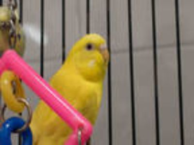 Adopt SUNKISSED a Yellow Parakeet - Other / Mixed bird in Loveland