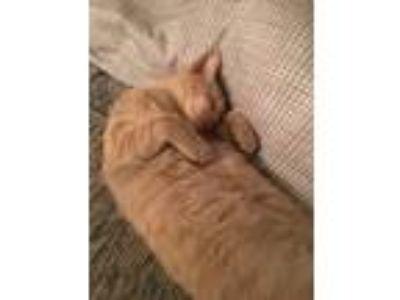 Adopt Peanut a Tan or Fawn Tabby Domestic Shorthair / Mixed cat in Mesa