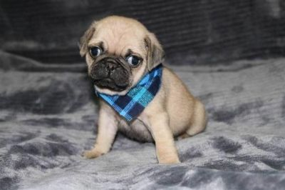 Puppy For Sale Classifieds In Orange Park South Florida Clazorg