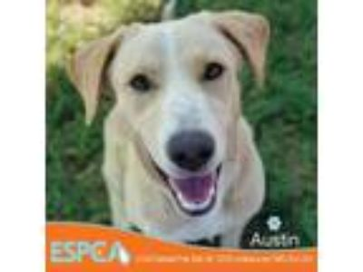 Adopt Austin a Tan/Yellow/Fawn Labrador Retriever dog in Enid, OK (25916004)