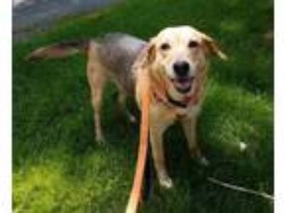 Adopt Harley a Tan/Yellow/Fawn - with Black Shepherd (Unknown Type) / Labrador
