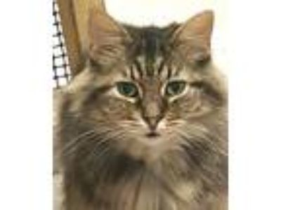 Adopt Esther a Maine Coon