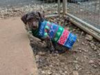 Adopt Schultz a Brown/Chocolate Poodle (Miniature) / Mixed dog in Bealeton