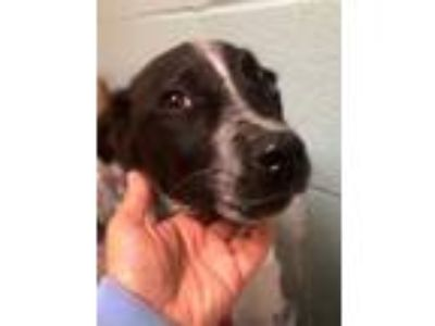 Adopt Ringo a Black Border Collie / Catahoula Leopard Dog / Mixed dog in