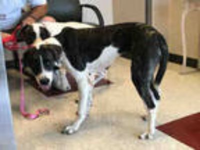 Adopt BONNIE a Brindle - with White Great Dane / Mixed dog in Plano