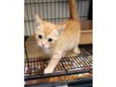 Adopt BANNER a Orange or Red Domestic Shorthair / Domestic Shorthair / Mixed cat