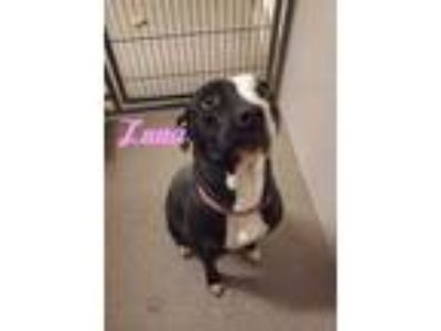 Adopt Luna a Black American Pit Bull Terrier / Mixed dog in Louisburg