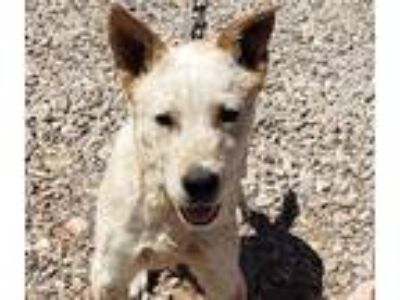 Adopt RED RYDER a Red/Golden/Orange/Chestnut - with White Australian Cattle Dog