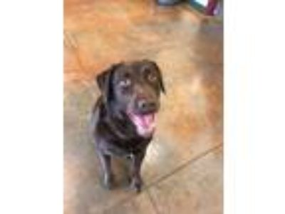 Adopt Sammie a Brown/Chocolate Labrador Retriever / Terrier (Unknown Type