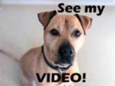 Adopt Scooby a Pit Bull Terrier, Boxer